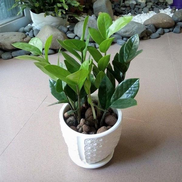 Những loại cây xanh nên trồng trong nhà